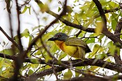 Grey-headed Bushshrike (Malaconotus blanchoti) in tree