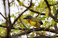 Grey-headed Bushshrike (Malaconotus blanchoti) in tree.jpg