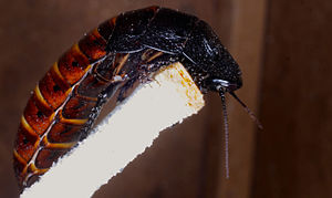 Madagascar hissing cockroach - Hissing cockroach
