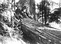 Group of men with large felled tree, 1900-1910 (WASTATE 3113).jpeg