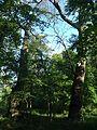 Group of old oaks (Cherkasy region)-3.jpg