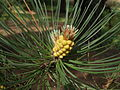 Growing tip of Pinus muricata.JPG