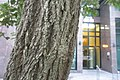 HK 上環 Sheung Wan 裕林臺 U Lam Terrace tree 黃金風鈴木 Tabebuia chrysantha October 2017 IX1 03.jpg