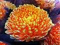 HK CWB 維園年宵市場 Victoria Park Fair - flower orange ball 波波菊 Jan-2012 Ip4.jpg