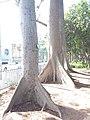HK CWB 銅鑼灣 Causeway Bay 維多利亞公園 Victoria Park tree trunk n green leaves December 2019 SSG 41.jpg