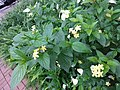 HK TKO 將軍澳 Tseung Kwan O 唐德街 Tong Tak Street green leaves white flowers May 2019 SSG 02.jpg