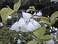 Halesia monticola.jpg