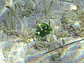 Halimeda incrassata (calcareous green algae) (San Salvador Island, Bahamas) 5 (15867360579).jpg