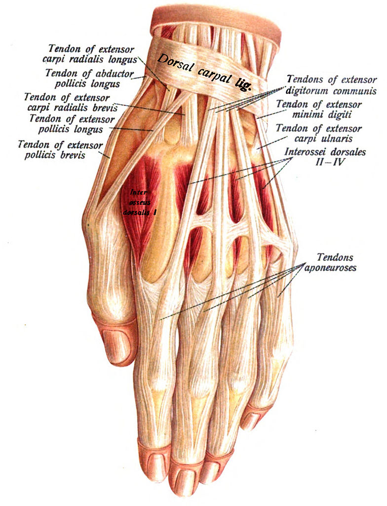 File:Hand anatomy.jpg - Wikimedia Commons