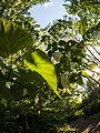 Handkerchief tree (9055815693).jpg