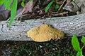 Hapalopilus rutilans 4162739.jpg