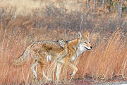 Happy Coyote Bandeler Los Alamos NM.jpg