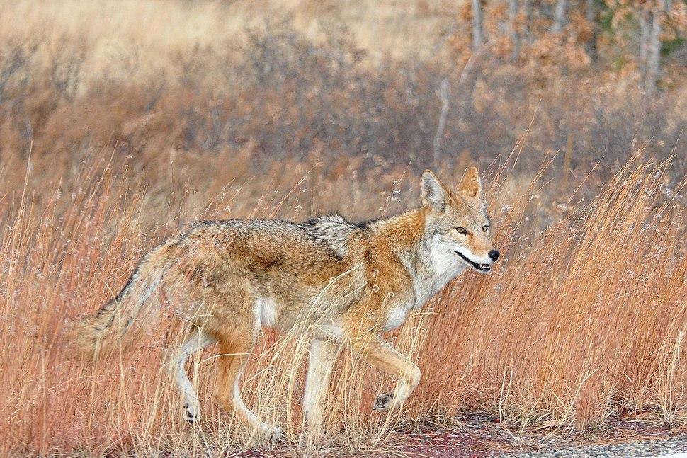 Happy Coyote Bandeler Los Alamos NM
