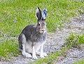 Hare Hare (20268751866).jpg