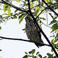 Hawk in the tree (3906295659).jpg