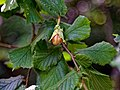 Hazelnut Corylus avellana at Woods Mill, Sussex Wildlife Trust, England 2.jpg