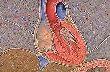 chordae tendineae - wikipedia, Human Body