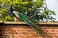 Heaton Park 2016 051 - Peacock.jpg