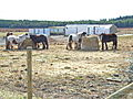Heavy Horses, near Sunniside, Crook - geograph.org.uk - 151645.jpg