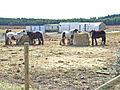 Heavy Horses, near Sunniside, Crook - geograph.org.uk - 151645.jpg