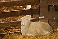 Heideschaap lamb.jpg