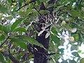 Helicanthes elasticus (Desv.) Danser (21888395501).jpg