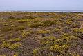Helichrysum stoechas832.jpg