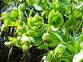 Helleborus foetidus in Jardin des Plantes 03.JPG