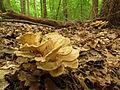 Hen of the Woods (22603414133).jpg