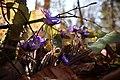 Hepatica nobilis 0538.jpg