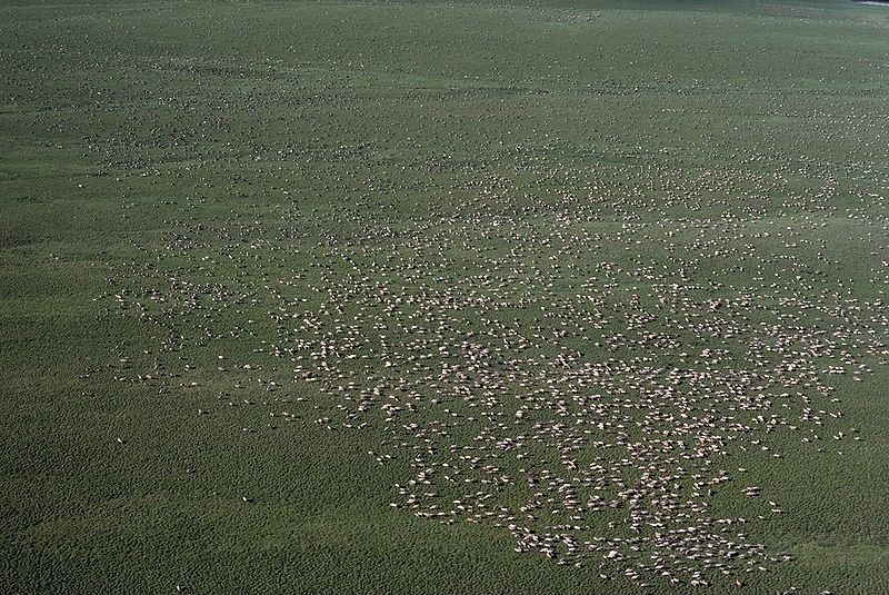 File:Herd of Caribou.jpg