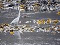 Heron at Calgary Bay (45135135885).jpg