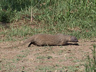 Egyptian mongoose - The Egyptian mongoose is active during the day