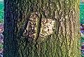 Herstelde wond van beschadiging veroorzaakt door een landbouwwertuig. Zomereik (Quercus robur). Locatie, Natuurterrein De Famberhorst 01.jpg