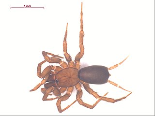 <i>Hexura</i> Genus of spiders