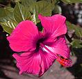 Hibiscus in North India 02.jpg
