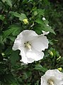 Hibiscus syriacus 'Diana' Ketmia syryjska 2009-07-20 02.jpg