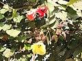 Hibiscus tiliaceus AJTJ DSCN7938.JPG