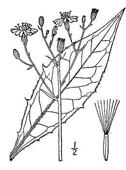 Hieracium-lachenalii03