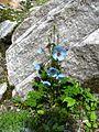 Himalayan Queen, Blue Poppy.jpg