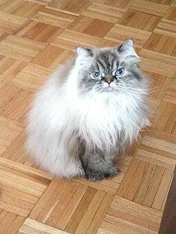 Himalayan cat m3 cat flea shampoo