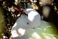 Hippoboscid Parasitic flies on red tropic bird.jpg