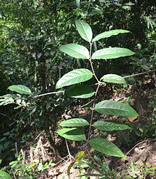 220px-Hiptage_benghalensis.jpg