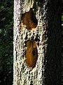 Hollow dendropicos picea sosnowka beentree.jpg
