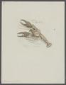 Homarus modestus - - Print - Iconographia Zoologica - Special Collections University of Amsterdam - UBAINV0274 097 02 0005.tif