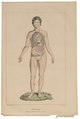 Homo sapiens - ingewanden - 1700-1880 - Print - Iconographia Zoologica - Special Collections University of Amsterdam - UBA01 IZ19600085.tif