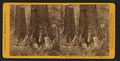 Horse-back Ride through Big Tree (88 ft. circum) Mariposa Co, by John P. Soule 2.png
