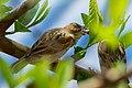 House Sparrow 8112.jpg