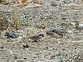 House Sparrow Passer domesticus by Raju Kasambe DSCN2160 (1) 04.jpg