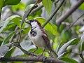 House sparrow 002.jpg